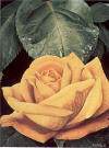 rothe yellow rose